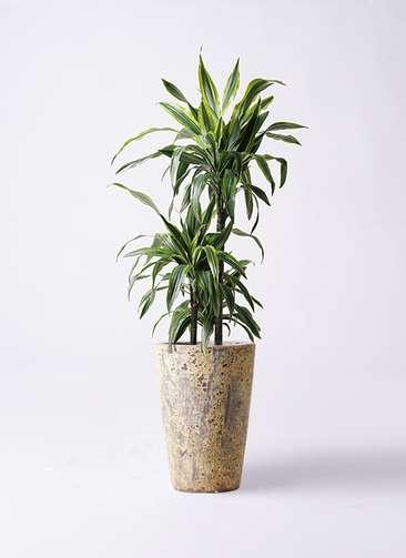 観葉植物 ドラセナ ワーネッキー レモンライム 8号 アトランティス クルーシブル 付き