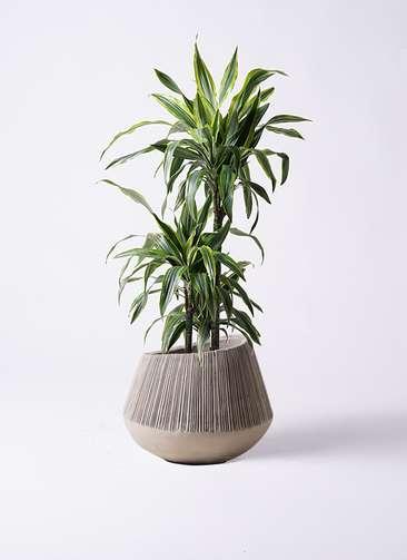 観葉植物 ドラセナ ワーネッキー レモンライム 8号 エディラウンド グレイ 付き