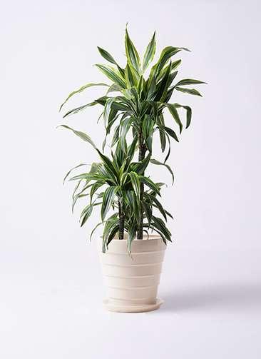 観葉植物 ドラセナ ワーネッキー レモンライム 8号 サバトリア 白 付き