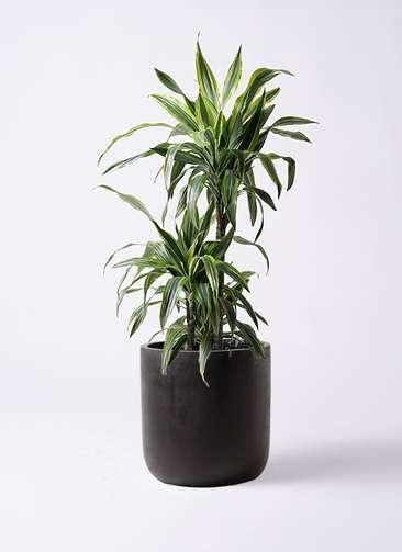 観葉植物 ドラセナ ワーネッキー レモンライム 8号 エルバ 黒 付き