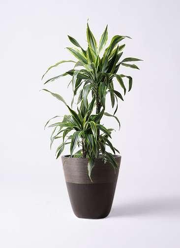 観葉植物 ドラセナ ワーネッキー レモンライム 8号 ジュピター 黒 付き