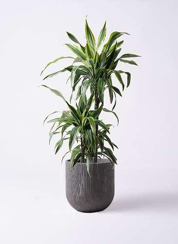 観葉植物 ドラセナ ワーネッキー レモンライム 8号 カルディナダークグレイ 付き