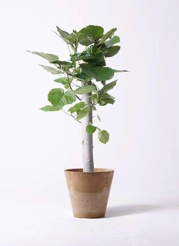 観葉植物 フィカス ウンベラータ 8号 朴 アートストーン ラウンド ベージュ 付き