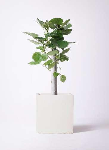 観葉植物 フィカス ウンベラータ 8号 朴 バスク キューブ 付き
