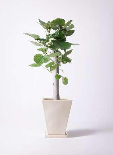 観葉植物 フィカス ウンベラータ 8号 朴 スクエアハット 白 付き