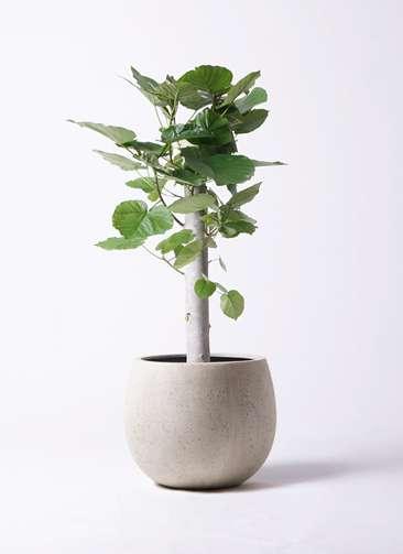 観葉植物 フィカス ウンベラータ 8号 朴 テラニアス ローバルーン アンティークホワイト 付き