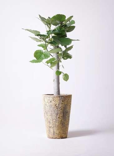 観葉植物 フィカス ウンベラータ 8号 朴 アトランティス クルーシブル 付き