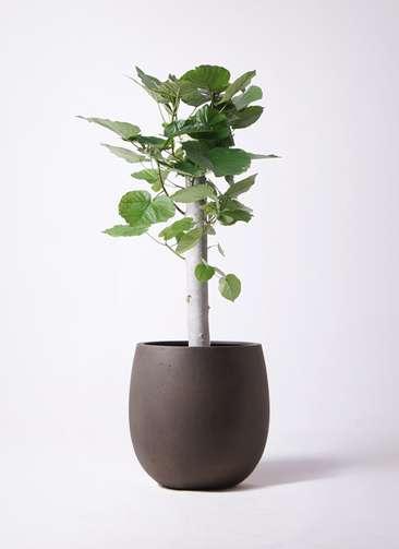 観葉植物 フィカス ウンベラータ 8号 朴 テラニアス バルーン アンティークブラウン 付き
