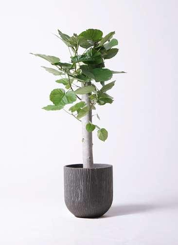 観葉植物 フィカス ウンベラータ 8号 朴 カルディナダークグレイ 付き