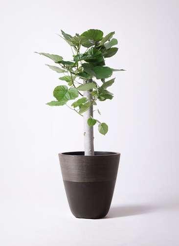 観葉植物 フィカス ウンベラータ 8号 朴 ジュピター 黒 付き