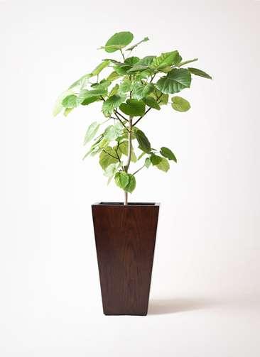 観葉植物 フィカス ウンベラータ 8号 ノーマル MOKU スクエア 付き