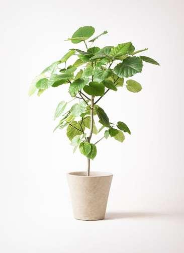 観葉植物 フィカス ウンベラータ 8号 ノーマル フォリオソリッド クリーム 付き