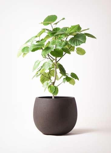 観葉植物 フィカス ウンベラータ 8号 ノーマル テラニアス ローバルーン アンティークブラウン 付き
