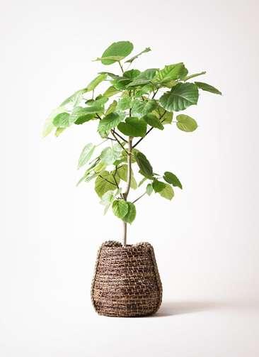観葉植物 フィカス ウンベラータ 8号 ノーマル リゲル 茶 付き