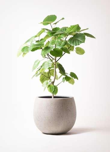 観葉植物 フィカス ウンベラータ 8号 ノーマル テラニアス ローバルーン アンティークホワイト 付き