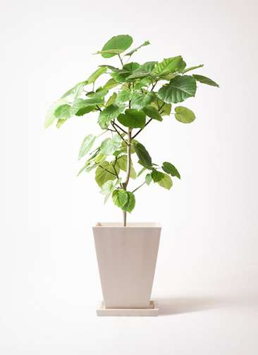 観葉植物 フィカス ウンベラータ 8号 ノーマル パウダーストーン 白 付き