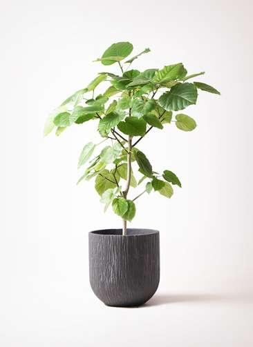 観葉植物 フィカス ウンベラータ 8号 ノーマル カルディナダークグレイ 付き