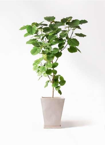 観葉植物 フィカス ウンベラータ 10号 ノーマル スクエアハット 白 付き