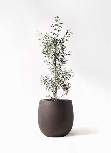 観葉植物 オリーブの木 8号 チプレッシーノ テラニアス バルーン アンティークブラウン 付き