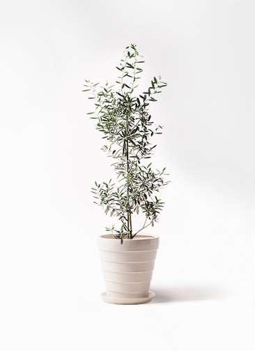 観葉植物 オリーブの木 8号 チプレッシーノ サバトリア 白 付き