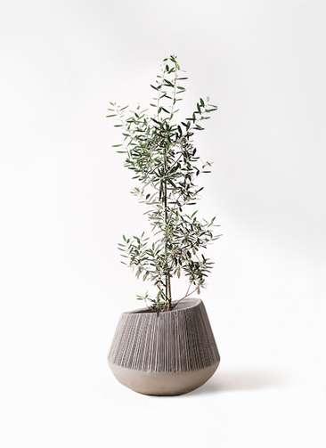観葉植物 オリーブの木 8号 チプレッシーノ エディラウンド グレイ 付き