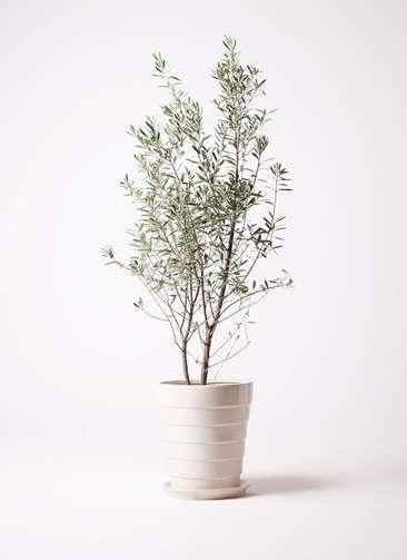 観葉植物 オリーブの木 10号 チプレッシーノ サバトリア 白 付き