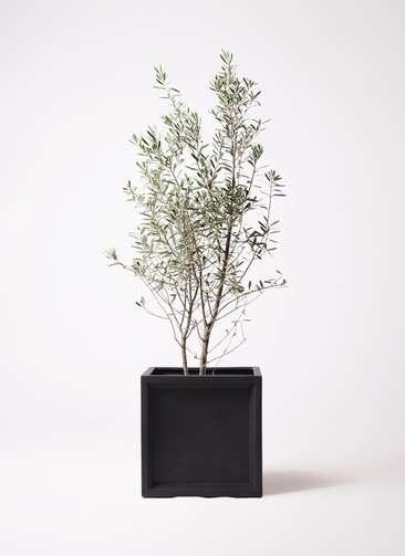 観葉植物 オリーブの木 10号 チプレッシーノ ブリティッシュキューブ 付き