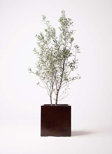 観葉植物 オリーブの木 10号 チプレッシーノ MOKU キューブ 付き