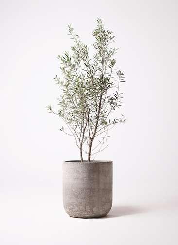 観葉植物 オリーブの木 10号 チプレッシーノ エルバ 白 付き