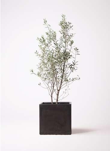 観葉植物 オリーブの木 10号 チプレッシーノ ファイバークレイ キューブ 付き
