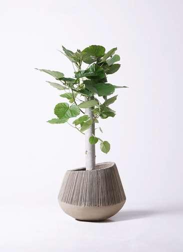 観葉植物 フィカス ウンベラータ 8号 朴 エディラウンド グレイ 付き