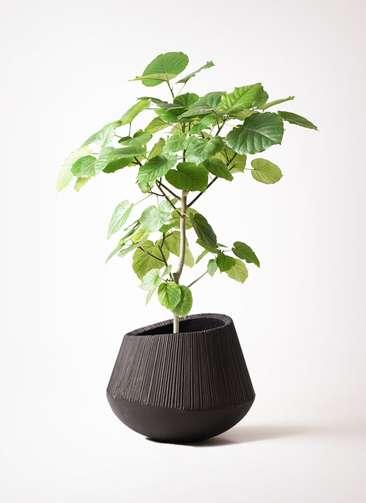 観葉植物 フィカス ウンベラータ 8号 ノーマル エディラウンド 黒 付き