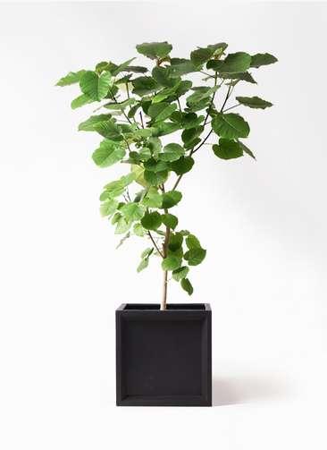 観葉植物 フィカス ウンベラータ 10号 ノーマル ブリティッシュキューブ 付き