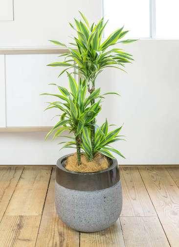 観葉植物 ドラセナ ワーネッキー レモンライム 8号 ファイバーストーン タウルス ミドル 黒 付き