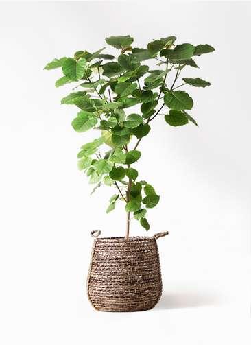 観葉植物 フィカス ウンベラータ 10号 ノーマル リゲル 茶 付き