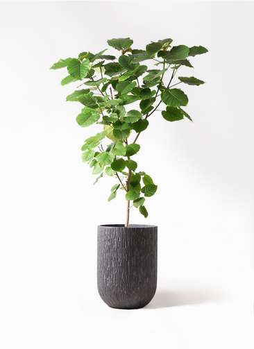 観葉植物 フィカス ウンベラータ 10号 ノーマル カルディナトールダークグレイ 付き