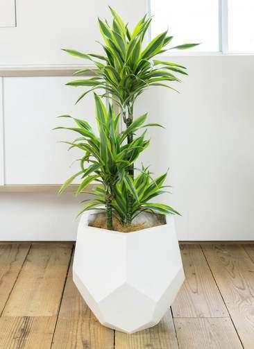 観葉植物 ドラセナ ワーネッキー レモンライム 8号 ポリゴヘクサ 白 付き