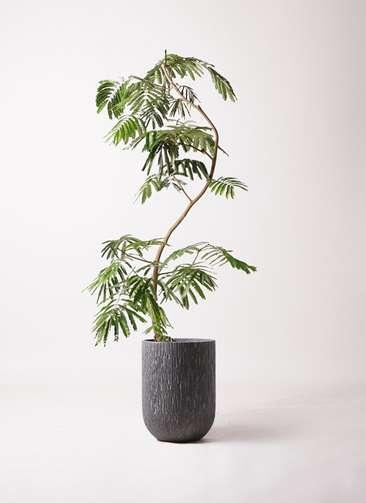 観葉植物 エバーフレッシュ 10号 曲り カルディナトールダークグレイ