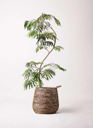 観葉植物 エバーフレッシュ 10号 曲り リゲル 茶