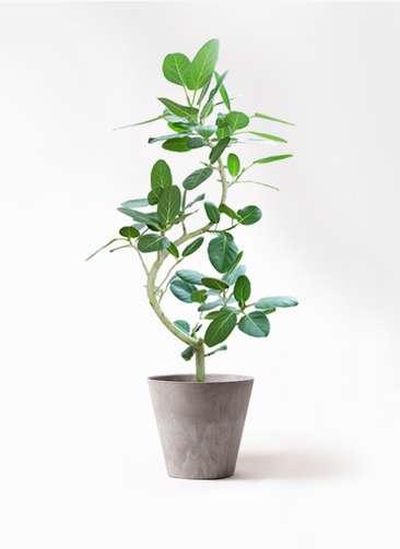 観葉植物 フィカス ベンガレンシス 8号 曲り アートストーン ラウンド グレー 付き