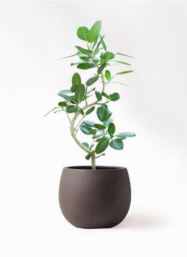 観葉植物 フィカス ベンガレンシス 8号 曲り テラニアス ローバルーン アンティークブラウン 付き