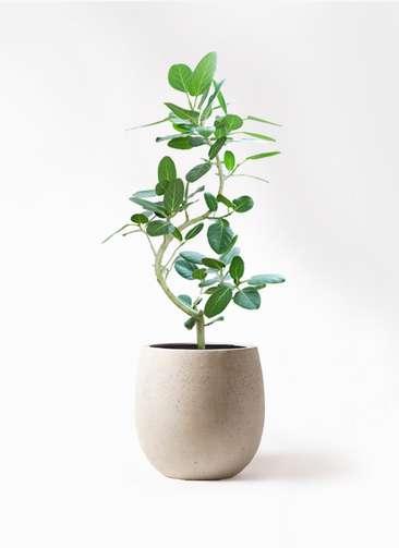 観葉植物 フィカス ベンガレンシス 8号 曲り テラニアス バルーン アンティークホワイト 付き