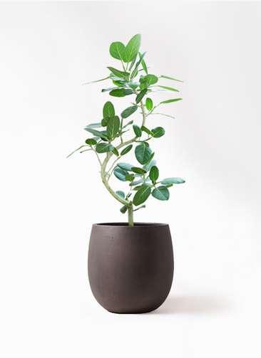 観葉植物 フィカス ベンガレンシス 8号 曲り テラニアス バルーン アンティークブラウン 付き