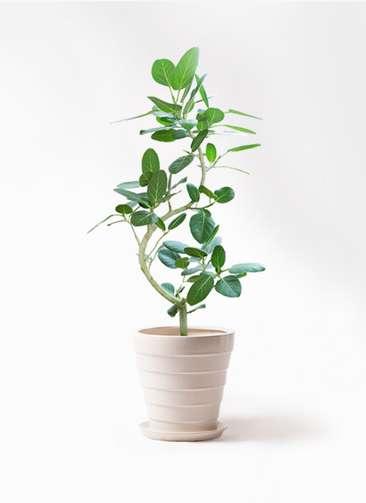 観葉植物 フィカス ベンガレンシス 8号 曲り サバトリア 白 付き