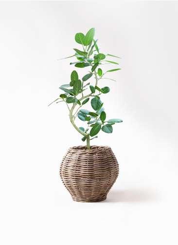 観葉植物 フィカス ベンガレンシス 8号 曲り グレイラタン 付き