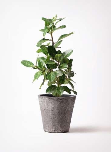 観葉植物 フィカス ベンガレンシス 7号 ストレート フォリオソリッド ブラックウォッシュ 付き