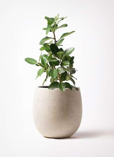 観葉植物 フィカス ベンガレンシス 7号 ストレート テラニアス バルーン アンティークホワイト 付き