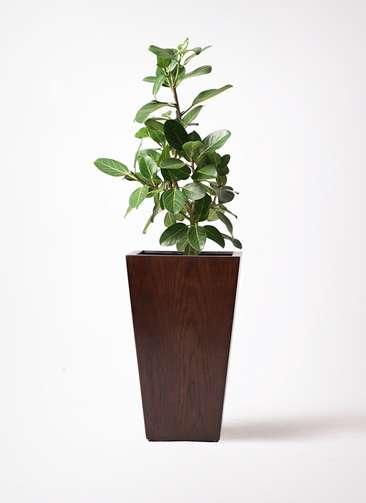 観葉植物 フィカス ベンガレンシス 7号 ストレート MOKU スクエア 付き