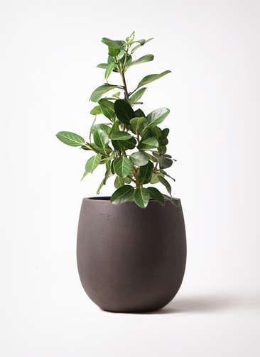 観葉植物 フィカス ベンガレンシス 7号 ストレート テラニアス バルーン アンティークブラウン 付き