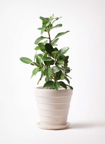 観葉植物 フィカス ベンガレンシス 7号 ストレート サバトリア 白 付き
